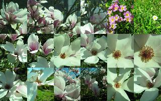 Magnolia soulangeana assemblage pour word__2010_04_11